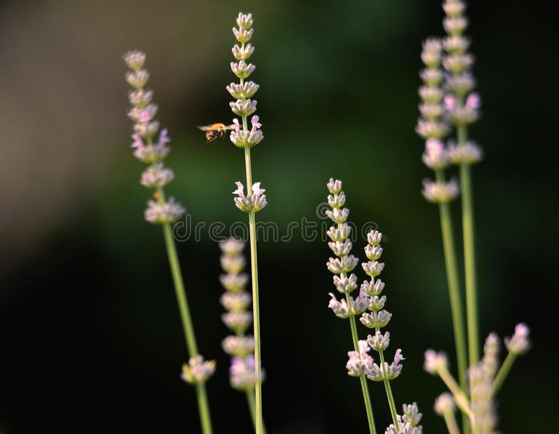 Lavendel blommar med ett pollinera bi arkivfoto