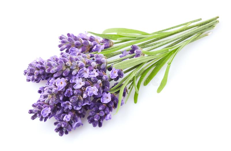 Lavendel blommar på vit bakgrund royaltyfria foton