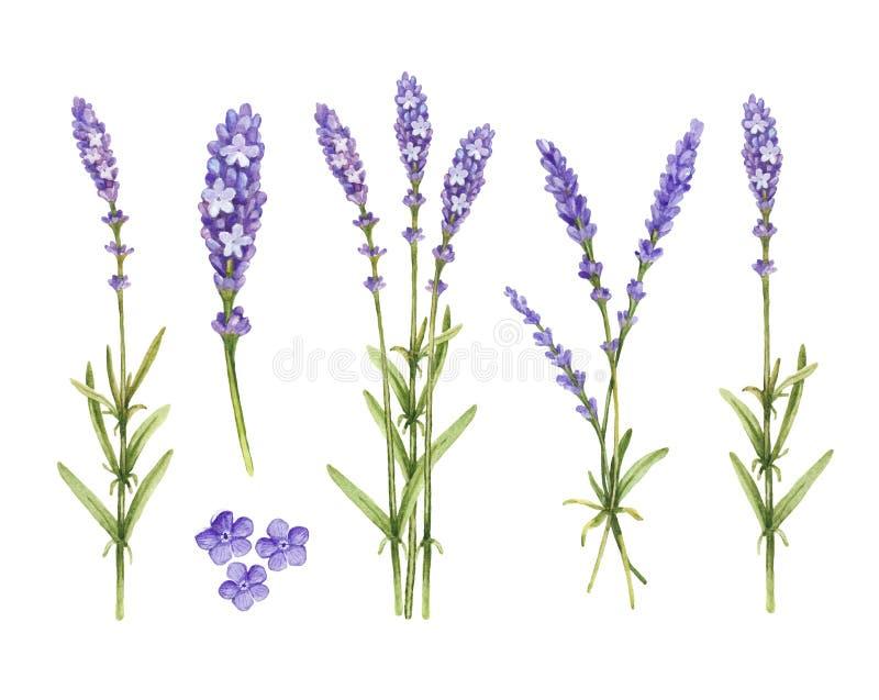 Lavendel blommar samlingen vektor illustrationer