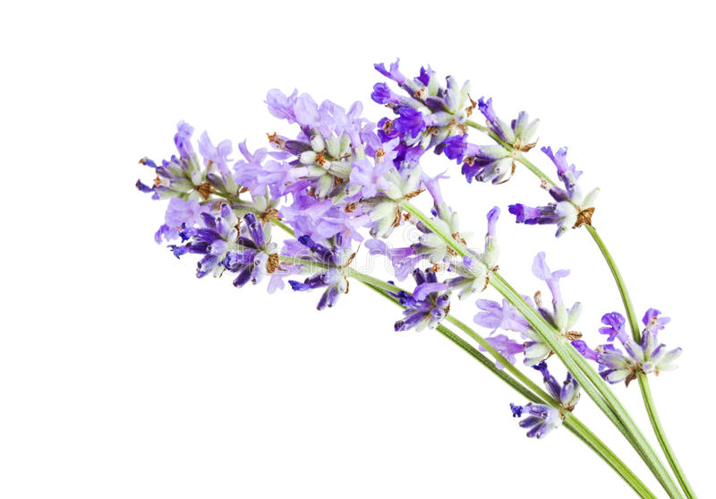 Lavendel blomstrar den isolerade closeupen royaltyfria foton
