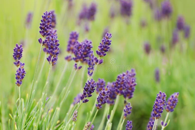 Lavendel-Blumen stockfotos