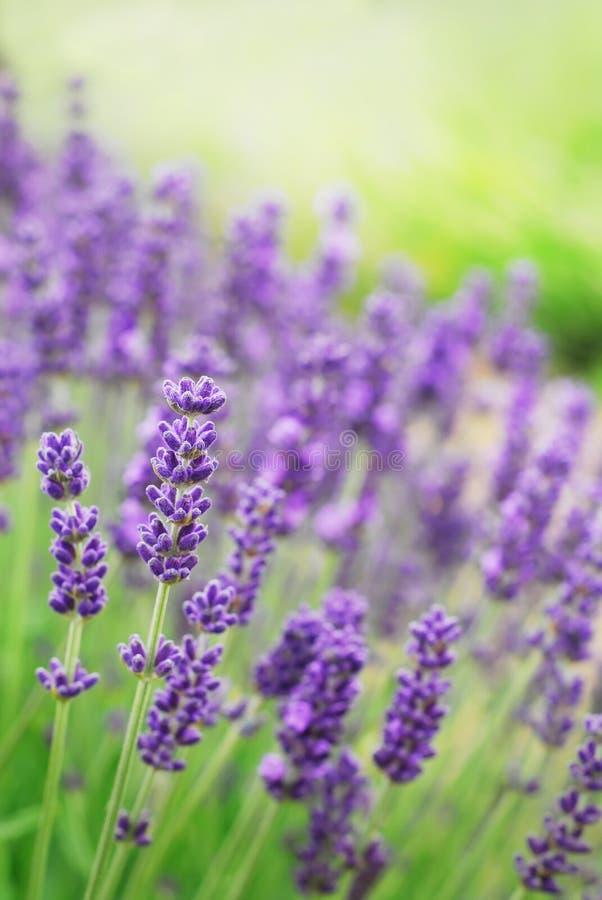 Lavendel-Blumen lizenzfreies stockbild