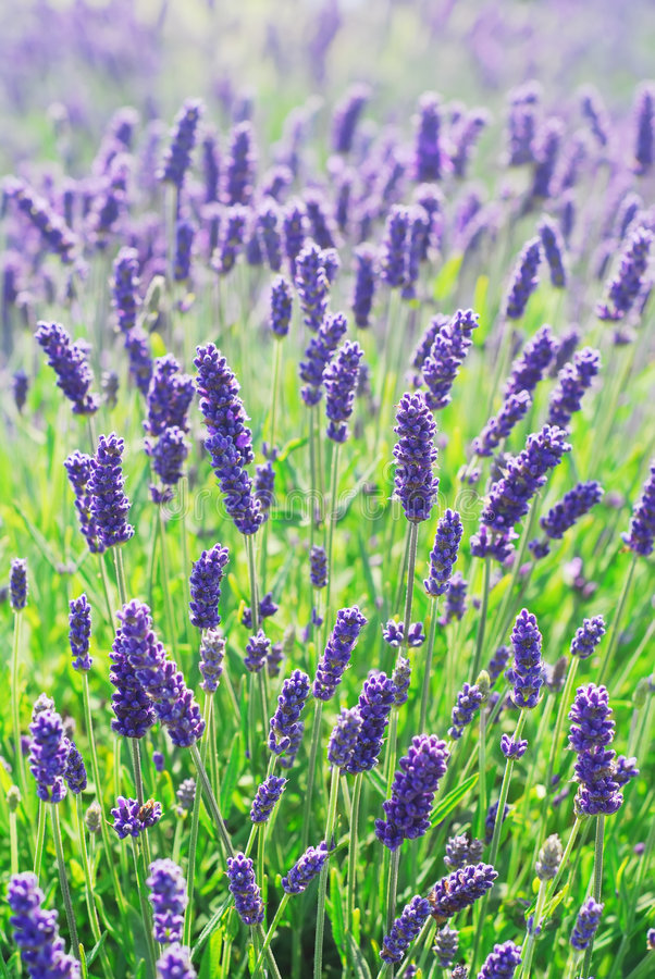 Lavendel-Blumen lizenzfreies stockfoto