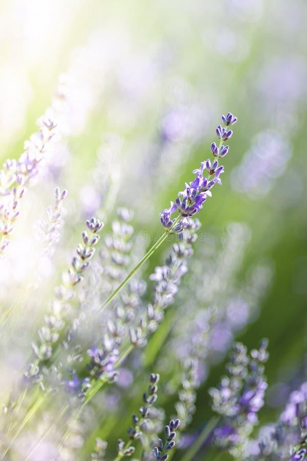 Lavendel in de Provence, Frankrijk royalty-vrije stock afbeeldingen