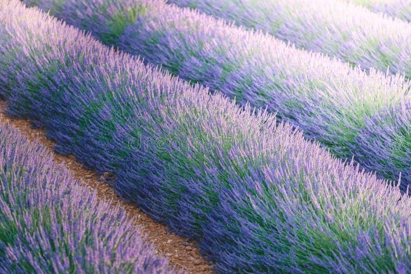 Lavendel in de Provence, Frankrijk stock foto's