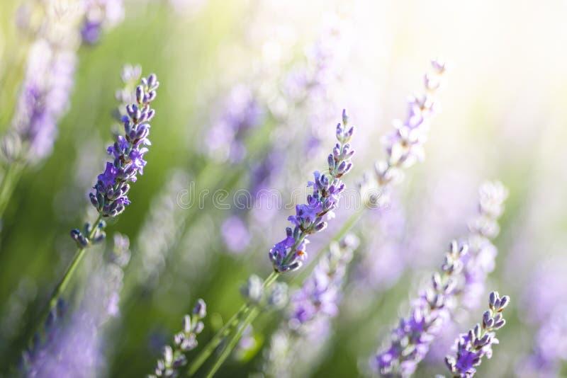 Lavendel in de Provence, Frankrijk stock foto