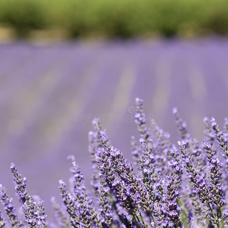 Lavendel in dichte omhooggaand, bloemgebied. royalty-vrije stock foto