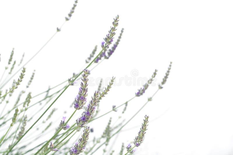 Lavendel die op wit wordt geïsoleerdR stock afbeeldingen