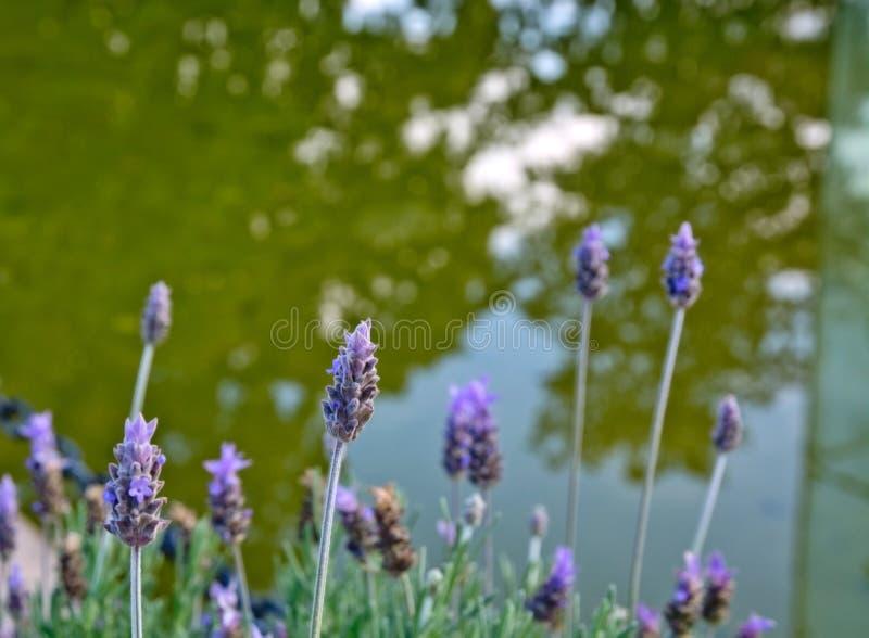Lavendel door meerclose-up stock afbeeldingen