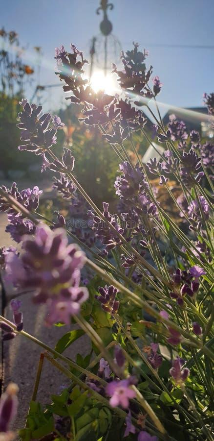 Lavendel photos libres de droits
