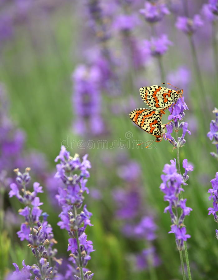 Lavendel en en koppelende vlinders stock fotografie