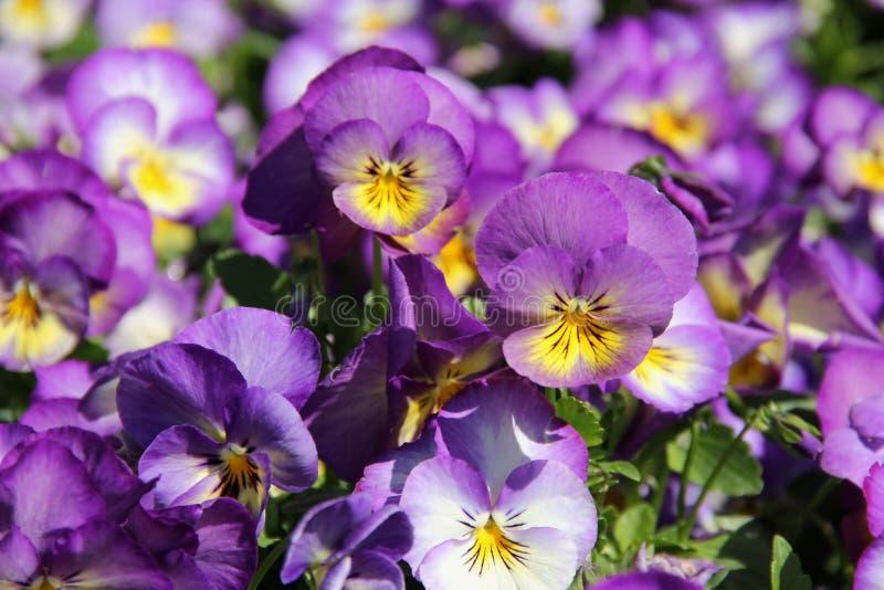 Lavendel en Gele Pansies royalty-vrije stock afbeelding