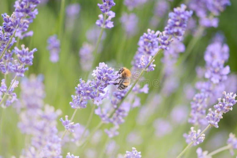 Lavendel en hommel royalty-vrije stock fotografie