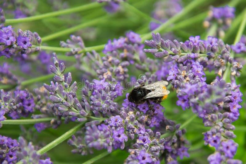 Lavendel en hommel, Lavandula-angustifolia, Bombus stock foto's