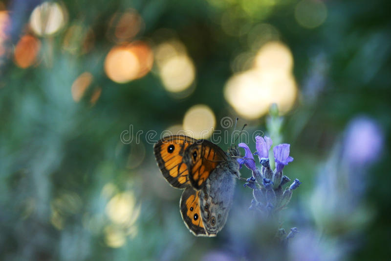 Lavendel en vlinder stock afbeeldingen