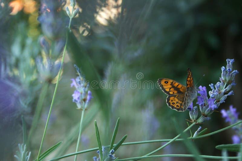 Lavendel en vlinder stock fotografie