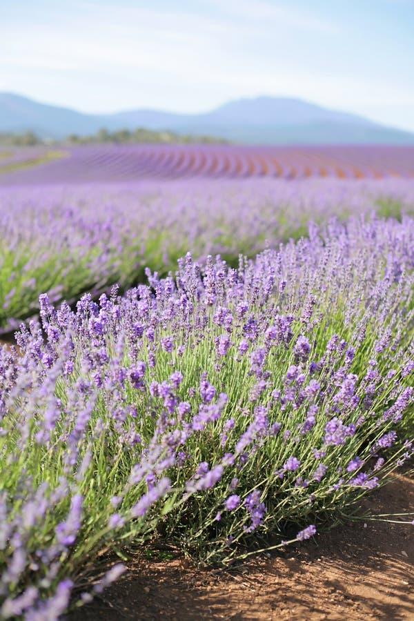 Lavendel-Feld lizenzfreie stockfotos