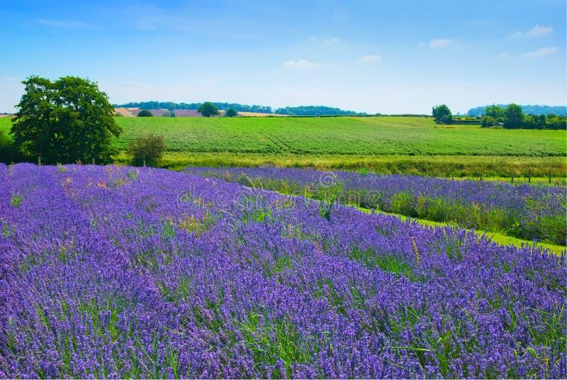 Lavendel-Feld lizenzfreies stockfoto