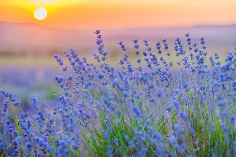 Lavendel-Feld im Sommer, natürliche Farben, selektiver Fokus stockbild