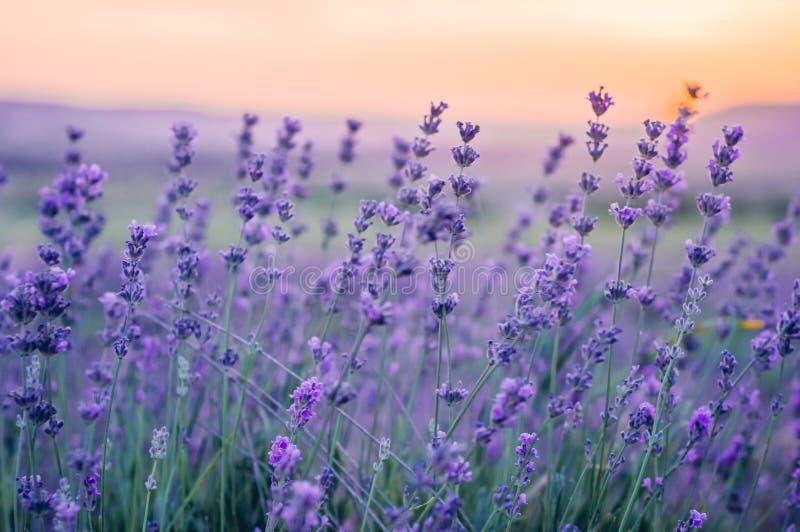 Lavendel-Feld im Sommer, natürliche Farben, selektiver Fokus stockfotos