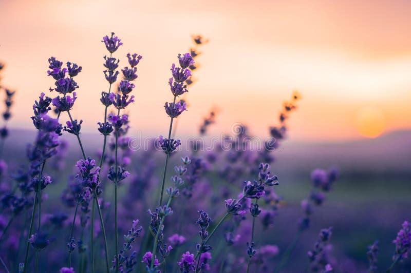 Lavendel-Feld im Sommer, natürliche Farben, selektiver Fokus lizenzfreies stockbild
