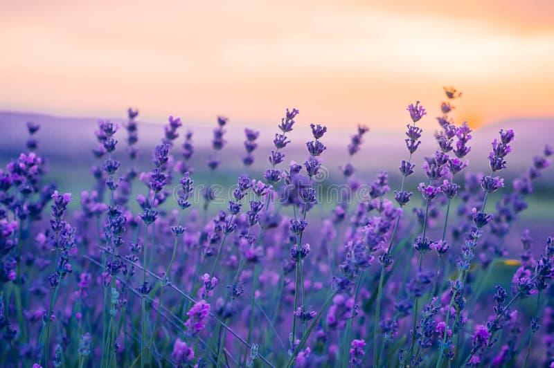Lavendel-Feld im Sommer, natürliche Farben, selektiver Fokus lizenzfreie stockfotos