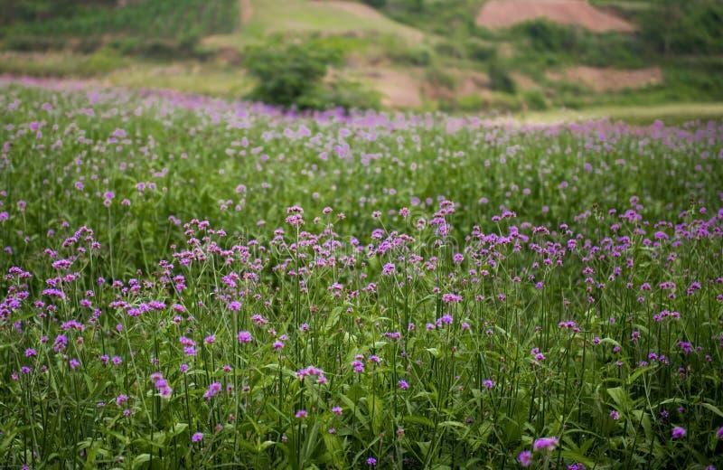Lavendel-Felder stockfotos