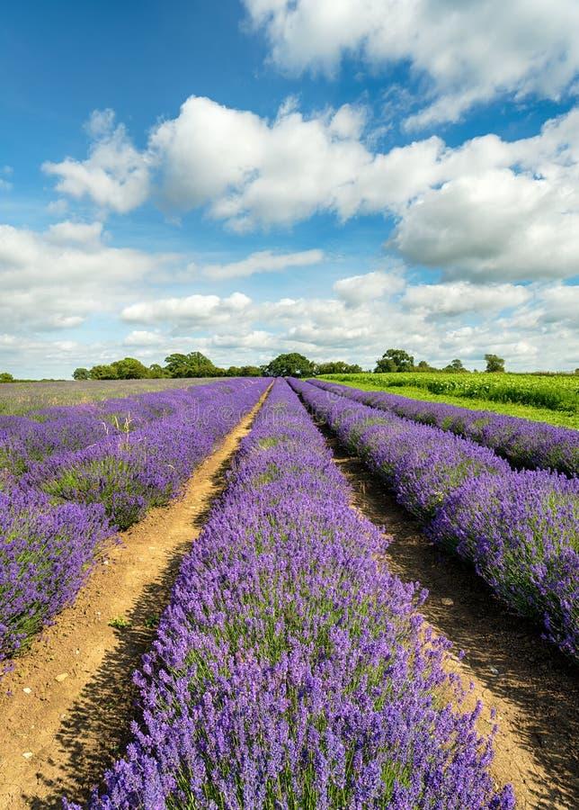 Lavendel-Felder in Somerset lizenzfreie stockbilder