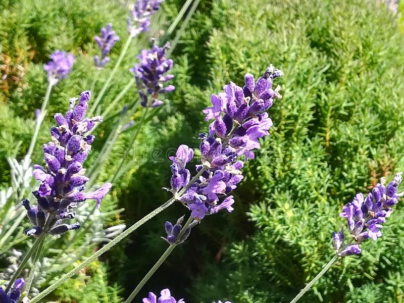 Lavendel photographie stock