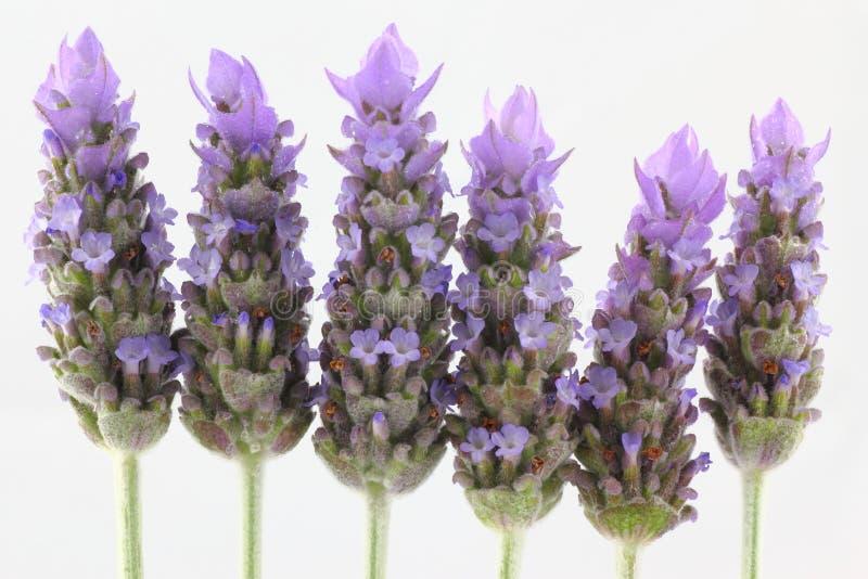 Lavendel geïsoleerdei close-up royalty-vrije stock fotografie