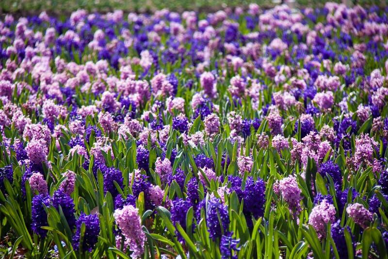 Lavendel gekleurde bloemen op gebied stock afbeeldingen