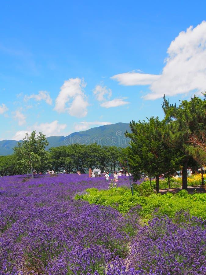 Lavendel in het Yagisaki-Park bij Oever van het meer van Kawaguchi royalty-vrije stock foto's