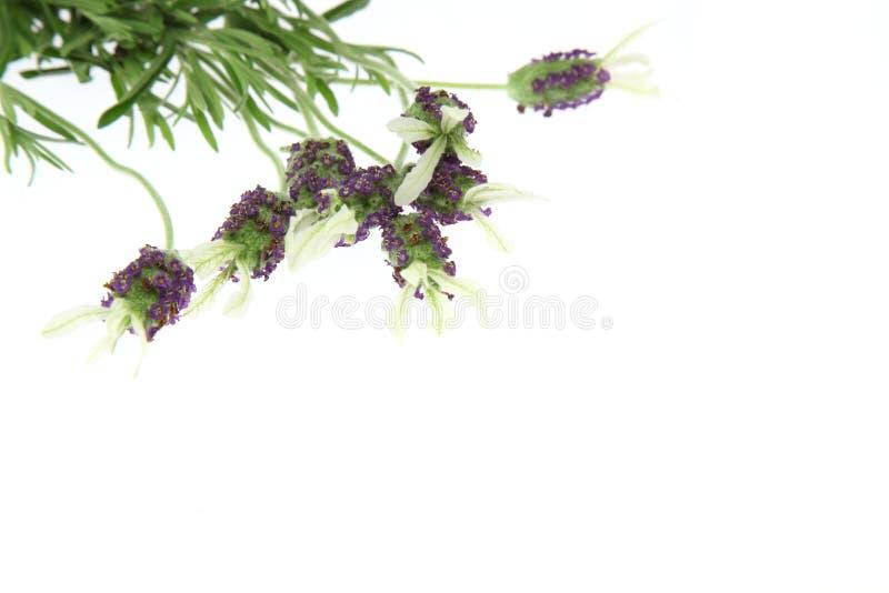 Lavendel i en vit bakgrund royaltyfri fotografi