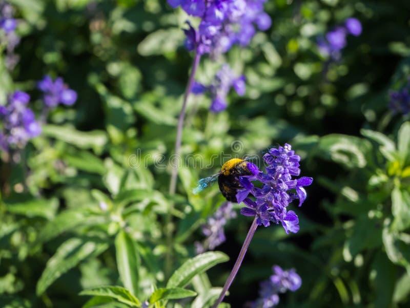 Lavendel i trädgård och för geting nektaret mot efterkrav av blomman arkivfoton