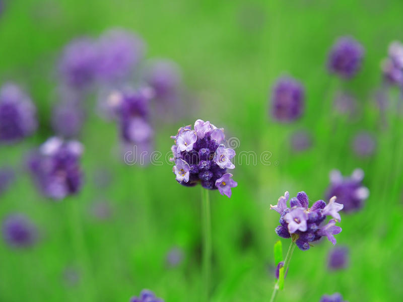 Lavendel im Garten lizenzfreie stockfotos