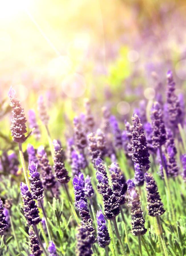 Lavendel im Sonnenlicht stockfotos