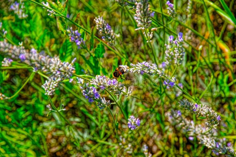 Lavendel am Innenhof von Yverdon in der Schweiz lizenzfreies stockbild