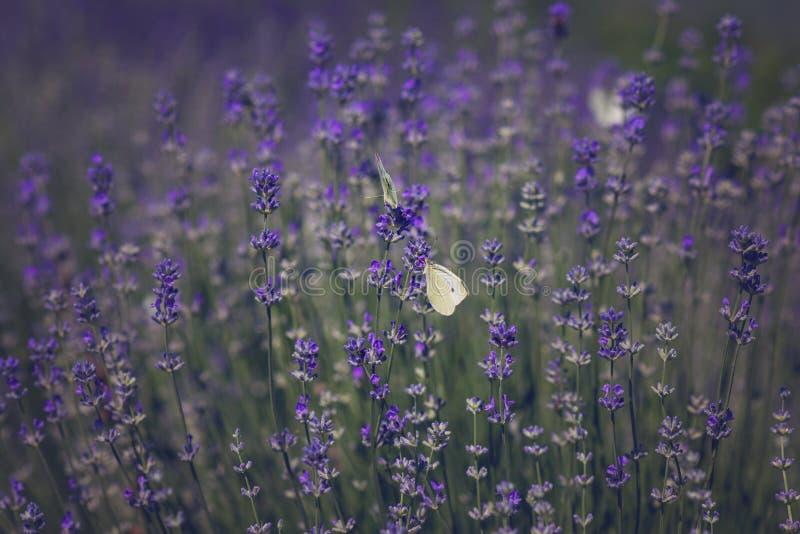 Lavendel med fjärilar royaltyfria bilder