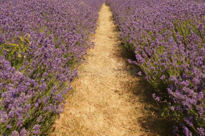 Lavendel naast de weg, Londen royalty-vrije stock afbeelding