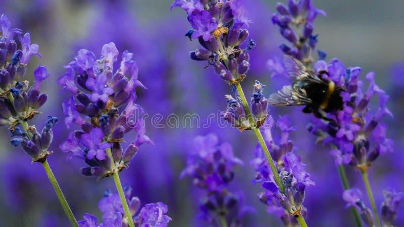 Lavendel och att stappla bin som tycker om en sommardag i England 6 arkivfoto