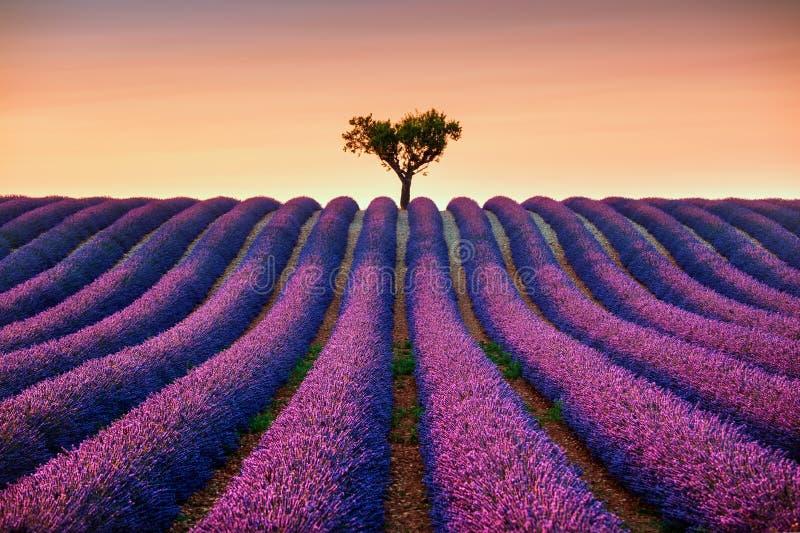 Lavendel och ensamt träd som är stigande på solnedgång france provence royaltyfri fotografi