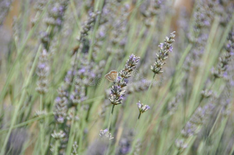 Lavendel och fjäril i naturen royaltyfria foton