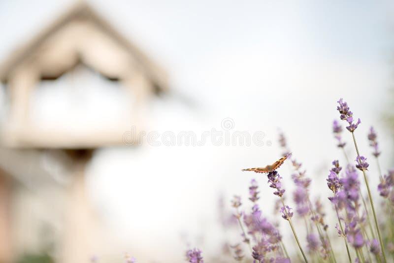 Lavendel och fjärilen och fågelasken arkivfoton