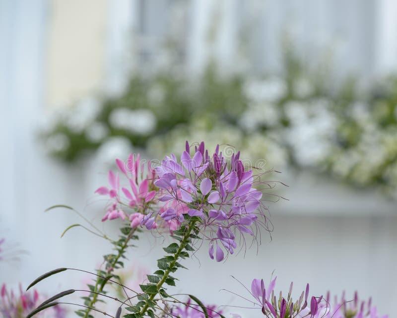 Lavendel och lilacleomen blommar i ett New England kust- Cott arkivfoto