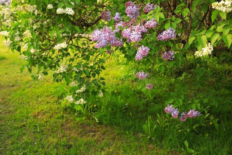 Lavendel och vita lila buskar som blomstrar i, parkerar arkivfoton