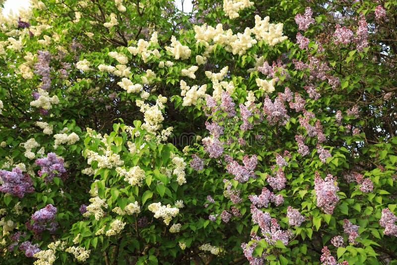 Lavendel och vita lila buskar som blomstrar i, parkerar fotografering för bildbyråer