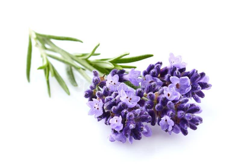 Lavendel på en vit bakgrund royaltyfri bild
