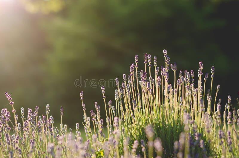 Lavendel pole fotografia stock