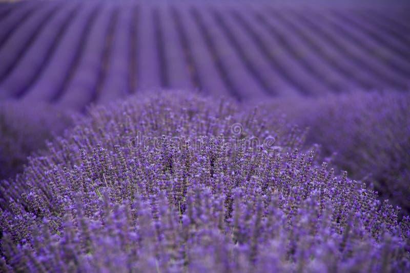 Lavendel sätter in royaltyfri foto