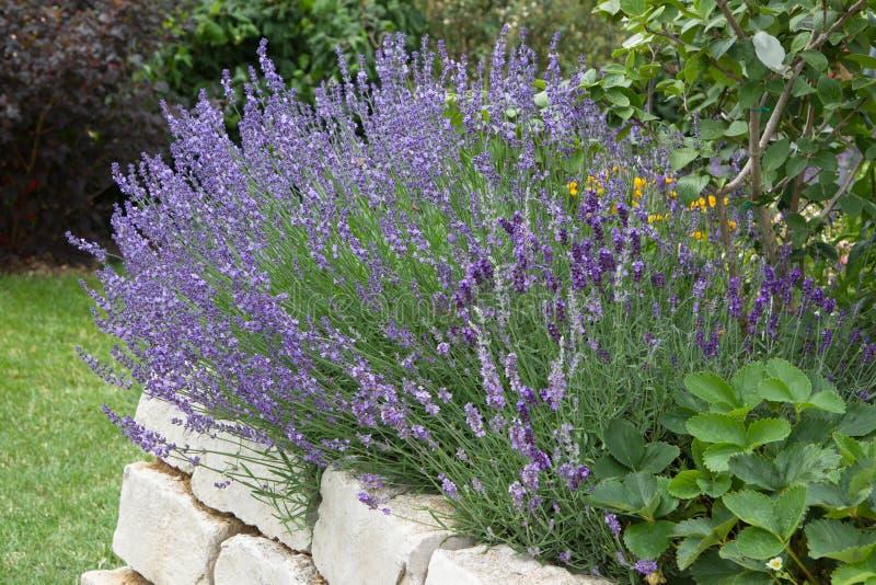Lavendel som växer i trädgård fotografering för bildbyråer